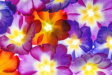 colorful primroses - flowers background macro