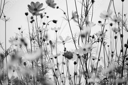 czarno-biale-amerykanskie-kwiatki-polne