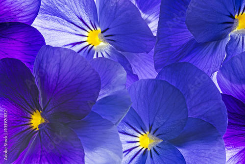 Spoed Foto op Canvas Pansies pansy flower close up - flower background