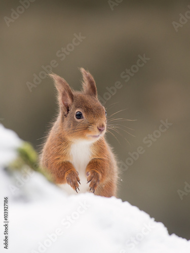 Tuinposter Eekhoorn Red Squirrel (Sciurus vulgaris) in the forest in the snow