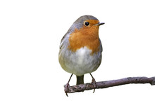 Robin On A Branch On White Background