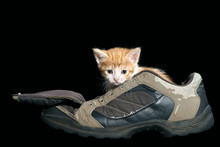 Funny Kitten In Old Boot. Black Isolated Background. Kitten White With Red