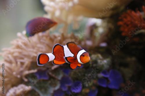 Foto op Aluminium Onder water clownfisch
