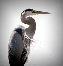 A Great Blue Heron Is On The Prowl For Food In The Marsh Grass Of South Carolina.