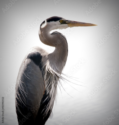 Fotografía A great blue heron is on the prowl for food in the marsh grass of South Carolina