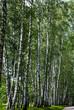 Leinwandbild Motiv Birch trunks in the park.