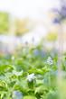 Lavender flowers in a field.