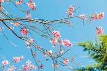 Cherry Blossum Park At Chiangm...