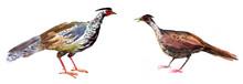 Pheasants, Watercolor