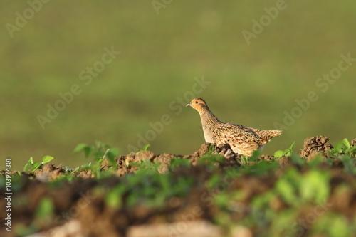 Stampa su Tela female grey partridge in the field