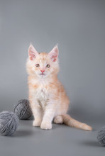 Maine Coon Kitten On A Gray Background With A Ball/Maine Coon Kitten On A Gray Background With A Ball