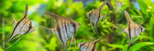 Angelfish Pterophyllum scalare Canvas Print