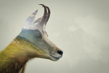Double Exposure Of Chamois In ...