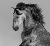 Dapple-grey Andalusian stallion - portrait in motion - 103985564