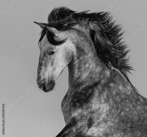 Fotografering  Dapple-grey Andalusian stallion - portrait in motion