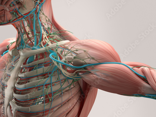 Tela Human anatomy detail of shoulder