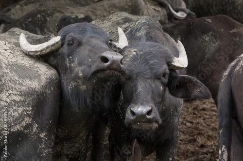 Fototapety, obrazy: Water buffalos