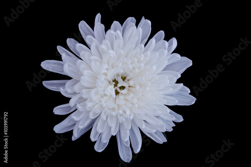 Canvas Print White chrysanthemum flowers isolated on black background