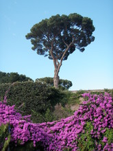 An Italian Stone Pine Tree And Pink Rambling Roses Against The Blue Sky