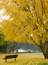 Ginko Tree In The Fall