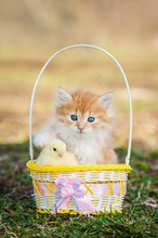 Adorable Little Kitten With A Chick Sitting In The Basket