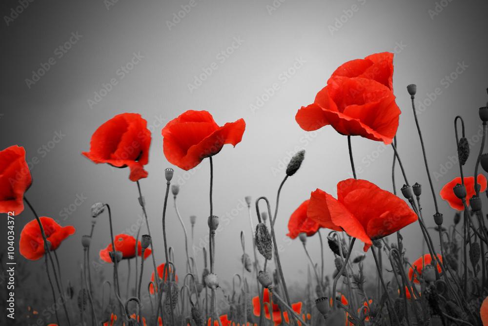 Fototapeta Feld mit roten Mohnblumen im Sommer
