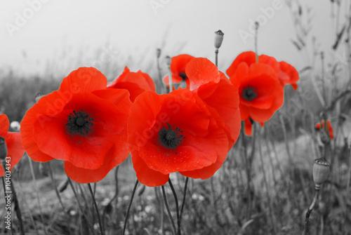 Feld mit roten Mohnblumen im Sommer - 104034343