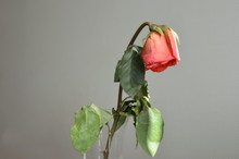Faded Rose Tilted Her Head In A Vase