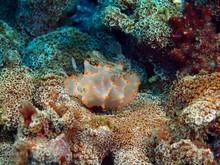 True Sea Slug, Island Bali