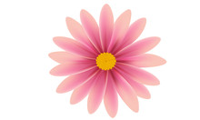 Pink Daisy Flower Isolated Ove...