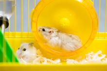 Jungar Hamster Running In The ...