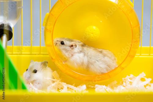 Jungar hamster running in the wheel