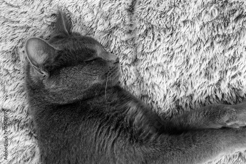 Canvas Prints Elephant the charter cat asleep