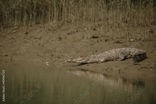 Photo  gigantic salted water crocodile caught in mangroves of Sundarbans / gigantic sal