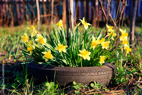 Yellow Flowers daffodils growing in a car tire