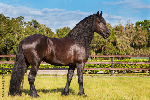 Brown black frisian / friesian horse standing still not moving waiting watching in a fenced field meadow paddock pasture looking elegant handsome regal with a long mane and tail