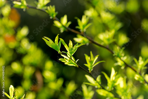 Fototapety, obrazy: Fresh young spring leaves