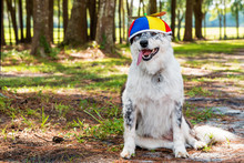 Border Collie Australian Shepherd Mix Dog Canine Happy Siting Down Outside Wearing Colorful Propeller Beanie Ready For A Birthday Halloween Party Looking Happy Hot With Tongue Hanging Out