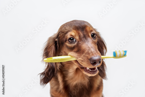 Dachshund dog with a toothbrush Canvas Print