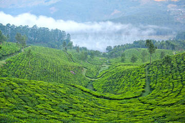 Fototapeta Tea plantations in Munnar, Kerala, South India