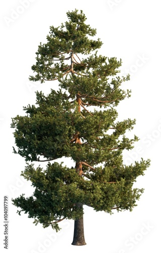 Pine tree isolated on white Wall mural