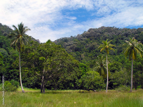 Fotografía  Coconut palms and jungle.