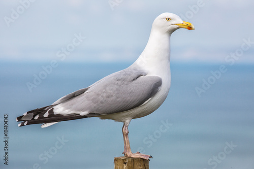 Fototapeta A seagull pearched on a post.
