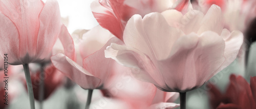 pink tinted tulips - 104113054