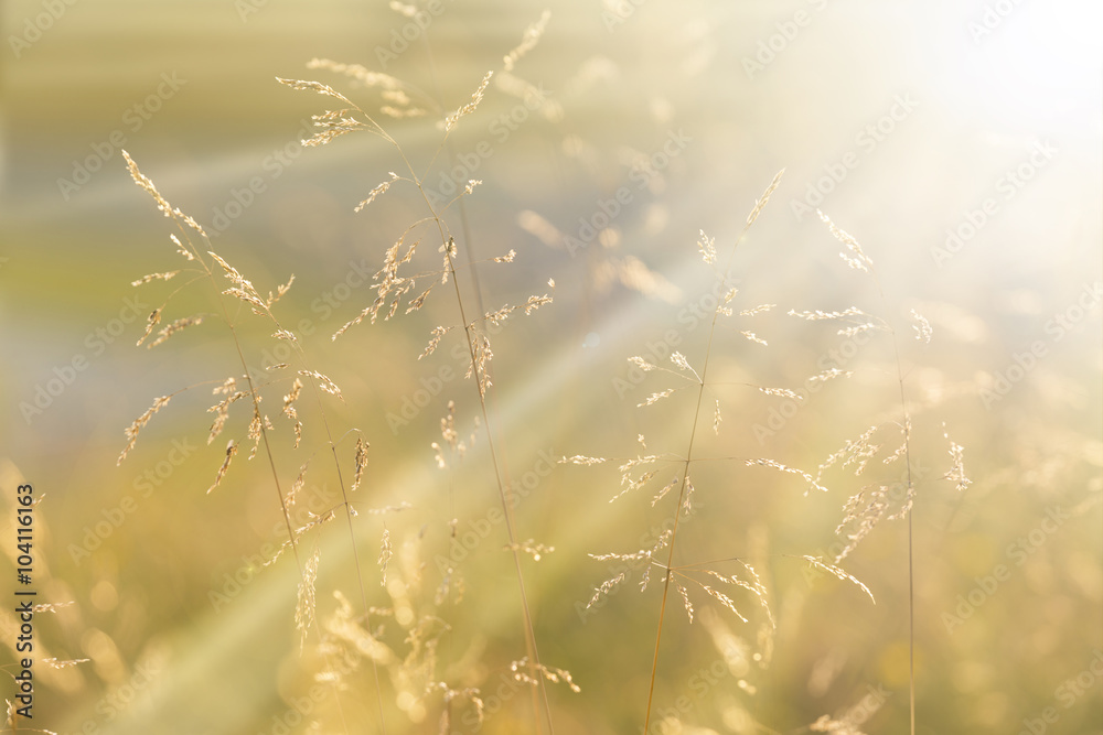 Fototapety, obrazy: Sunny golden color meadow grass at sunset with sunbeams. Golden and yellow orange color countryside meadow closeup. Selective focus used.