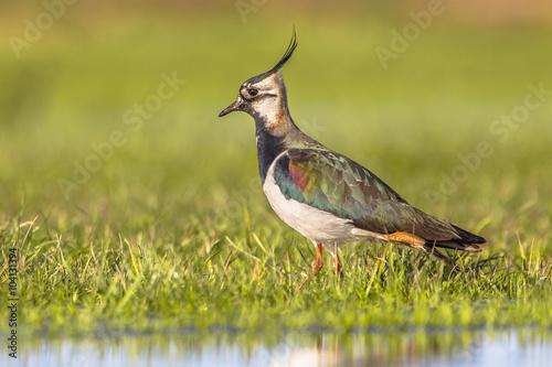 Fotografiet  Side view Male Northern lapwing in wetland habitat
