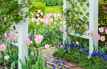 Tulips And Grape Hyacinths In ...