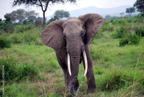 Fototapety, obrazy: A solitary elephant in the mikumi park.