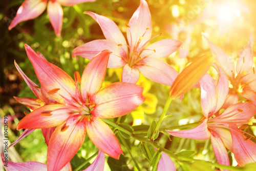 obraz dibond Beautiful lilies on flowerbed