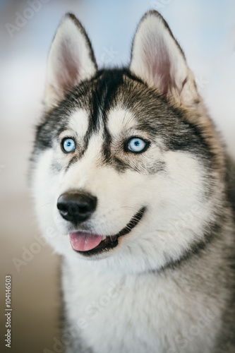 Blue-eyed Gray Adult Siberian Husky Dog portrait